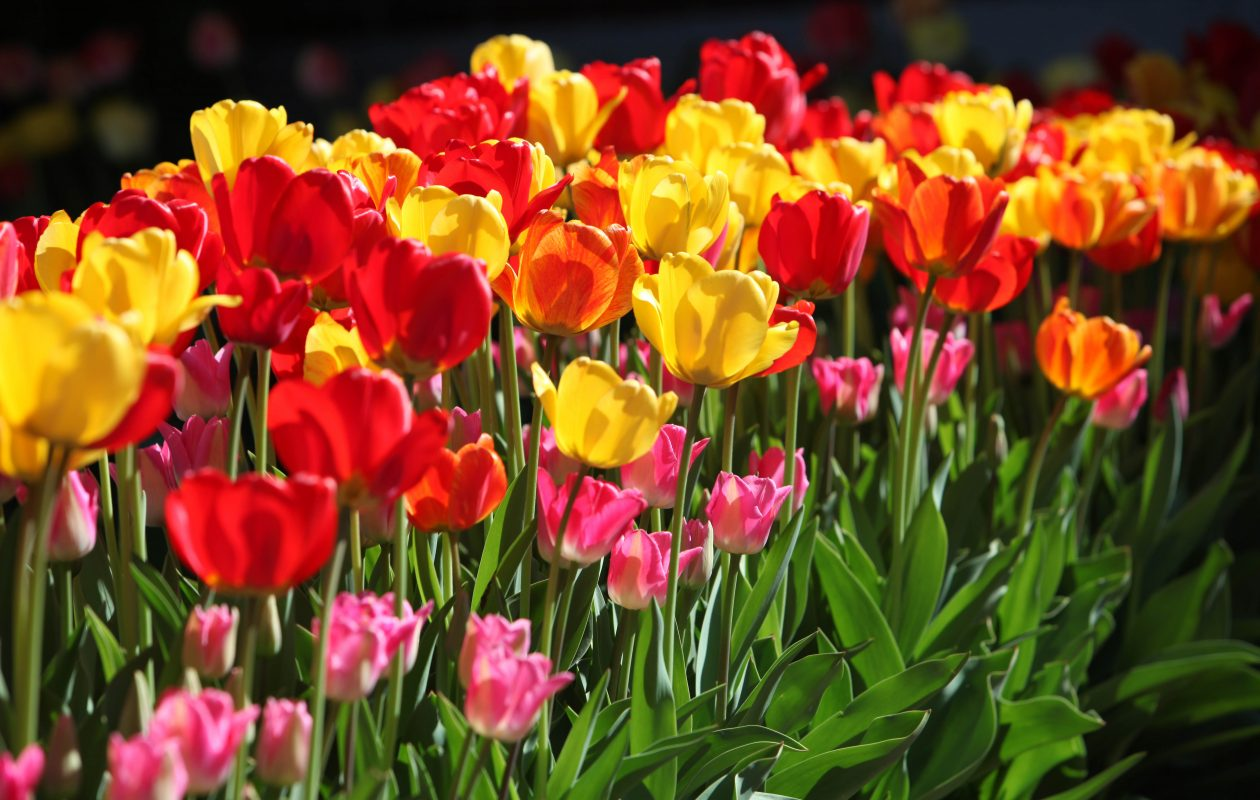 When it comes to tulips, the more the merrier. ( Sharon Cantillon / News file photo)