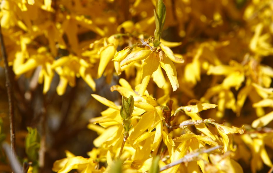 Above, a forsythia in beautiful bloom. If you plan to prune, say NO to flat-topping: It's common but disturbing to see shrubs such as forsythias buzz-cut across all the branches to form a wedge shape, writes Sally Cunningham. Learn some correct pruning techniques below. (John Hickey/News file photo)
