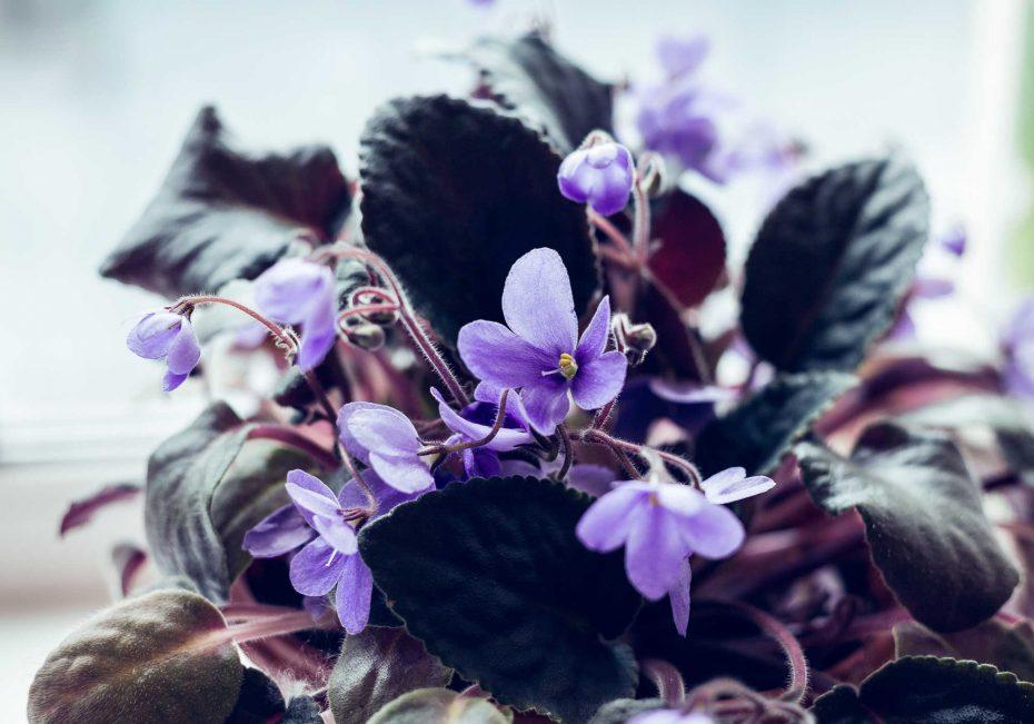 African violet | 8 pet-friendly indoor plans | Buffalo.com
