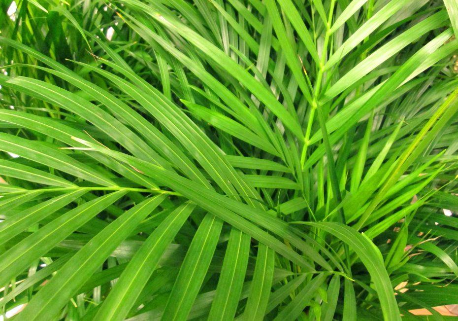 Areca palm | 8 pet-friendly indoor plans | Buffalo.com