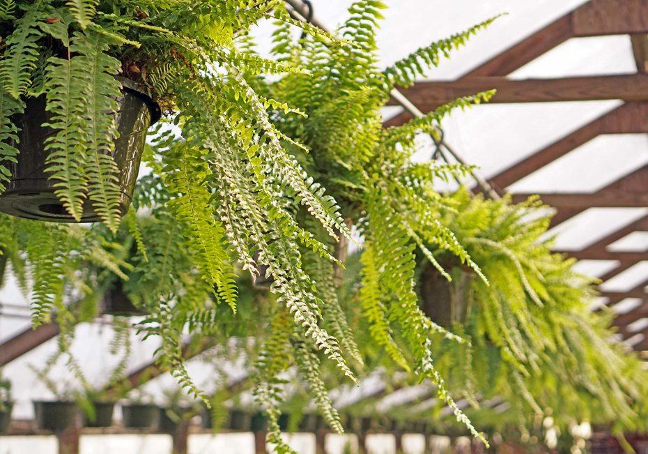 Fern | 8 pet-friendly indoor plants | Buffalo.com