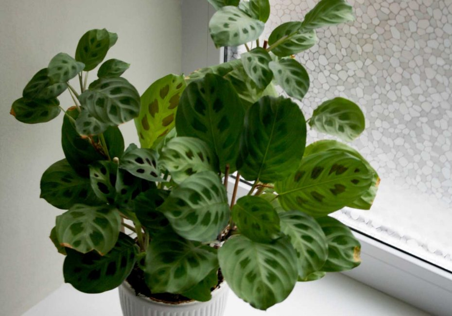 Prayer plant | 8 pet-friendly indoor plants | Buffalo.com