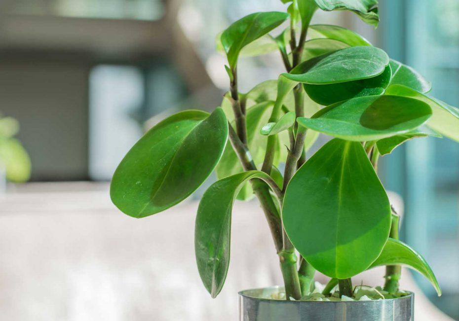 Rubber plant | 8 pet-friendly indoor plants | Buffalo.com