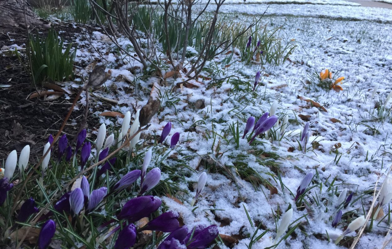 Crocus blossoms were sprinkled with early morning snow in Buffalo on April 10. (Maki Becker/Buffalo News)