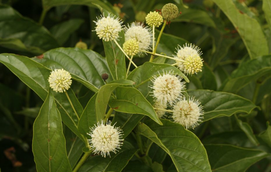 "'Sugar Shack' Buttonbush (Cephalanthus occidentalis) is good for   rain gardens."" (Photo courtesy Proven Winners)"