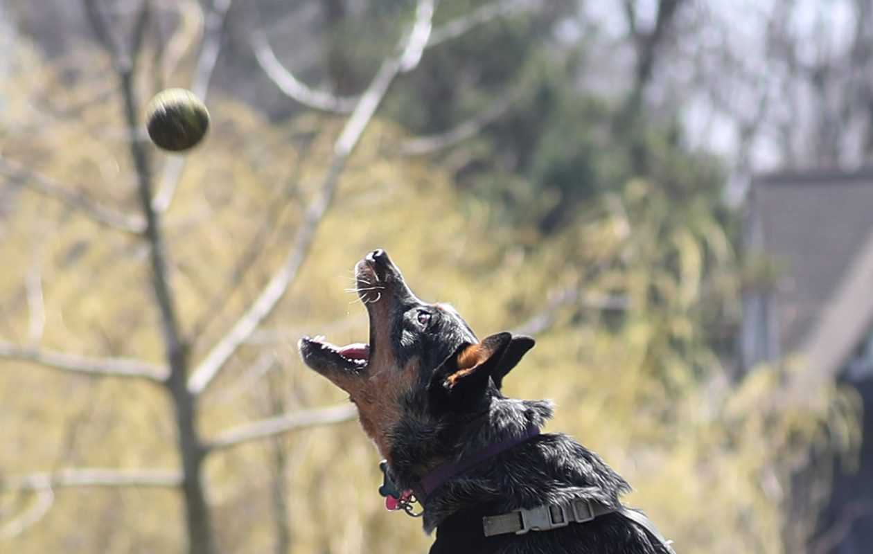 Kelly Patterson, of Niagara Falls, plays fetch with her Australian cattle dog Sadie at the Ellicott Creek Dog Park, Tuesday, May 1, 2018.  Here, he's jumping for a short tossed ball.  She said Sadie could chase the ball for hours. (Sharon Cantillon/Buffalo News)