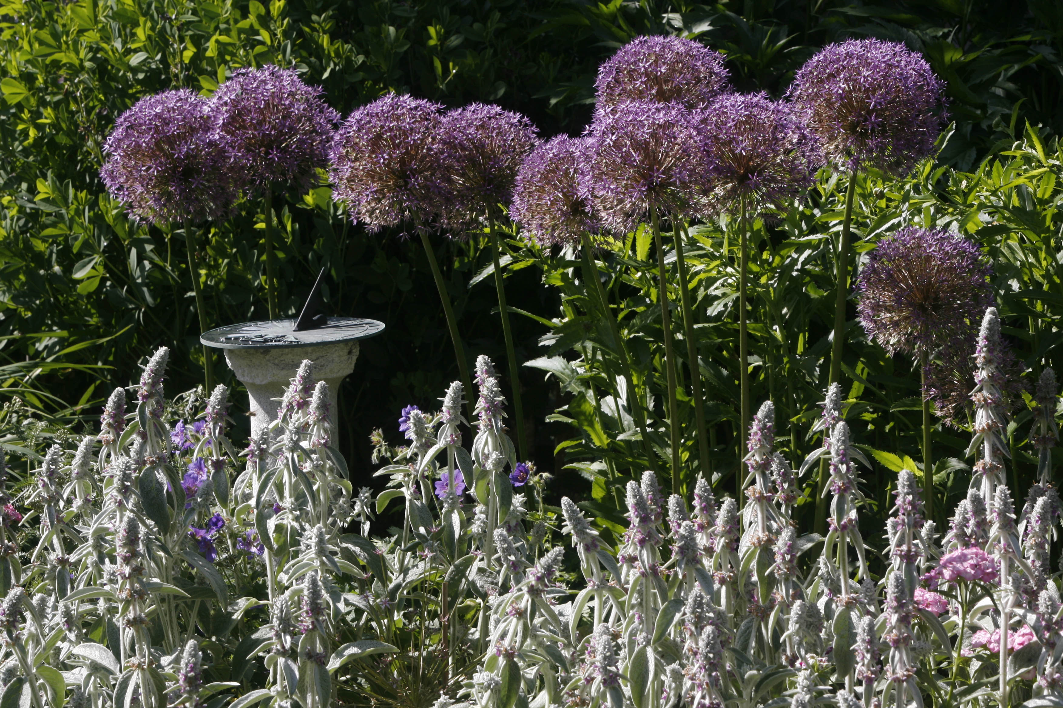 Consider these five great perennials seriously the buffalo news alliums and lambs ears in an amherst garden robert kirkhamnews file photo izmirmasajfo