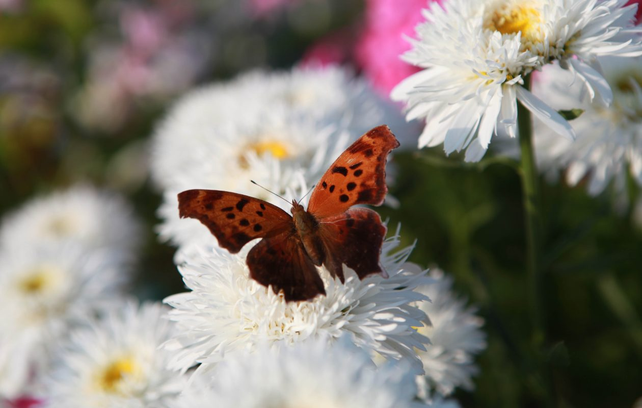 A butterfly hangs around the shasta daisies.  {Sharon Cantillon / News file photo}