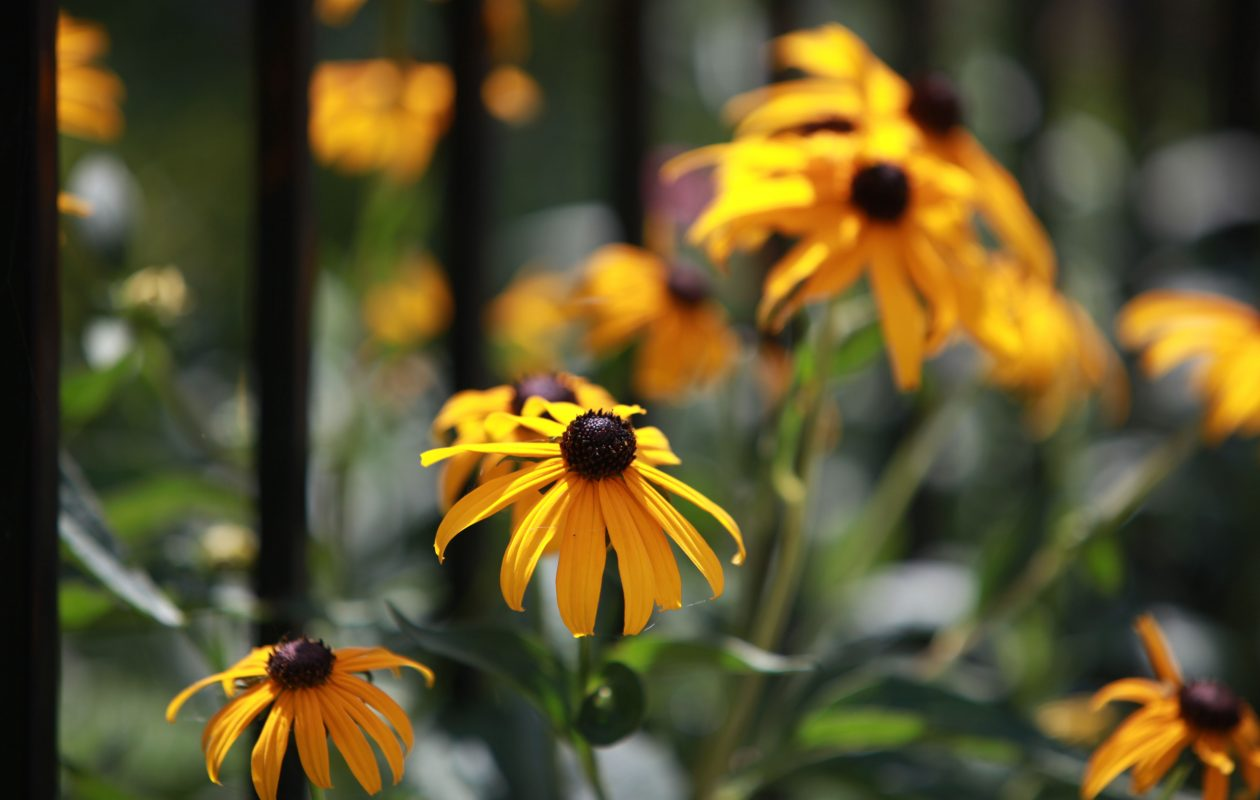 Black-eyed Susans in bloom in July.  (Sharon Cantillon /News file photo}
