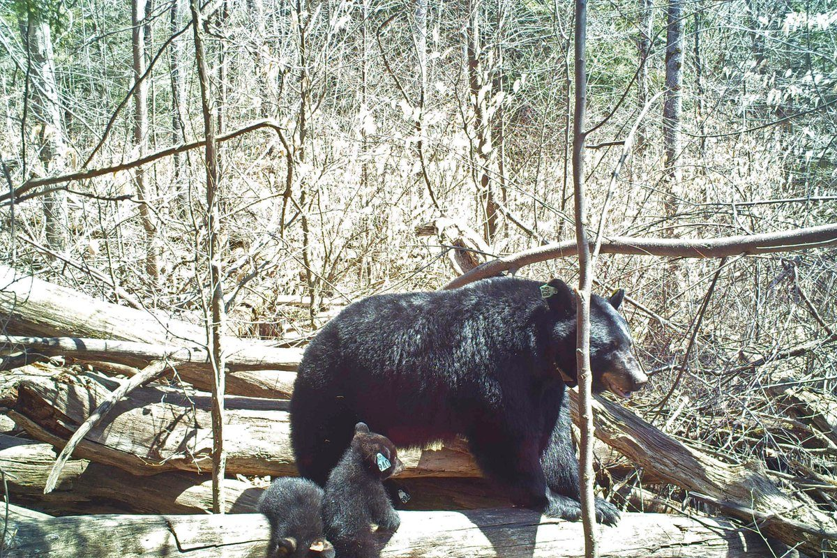 A black bear sow and her cub emerging from a den near Olean that DEC scientists previously visited. This is not the bear, or bears, spotted across the region, experts said. (DEC)