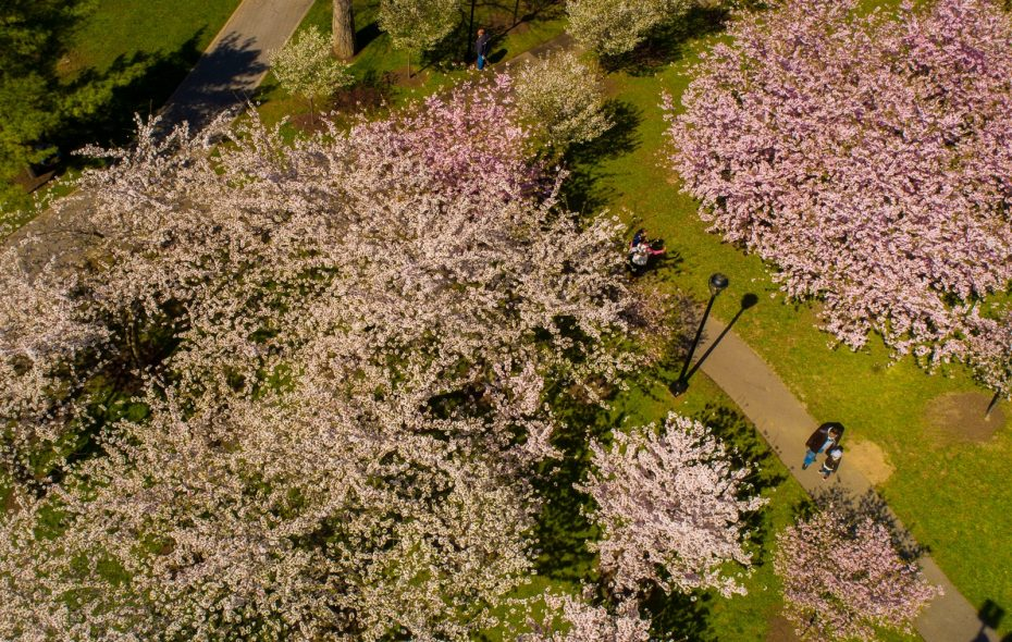The blossoming cherry trees from above.	(Derek Gee/Buffalo News)