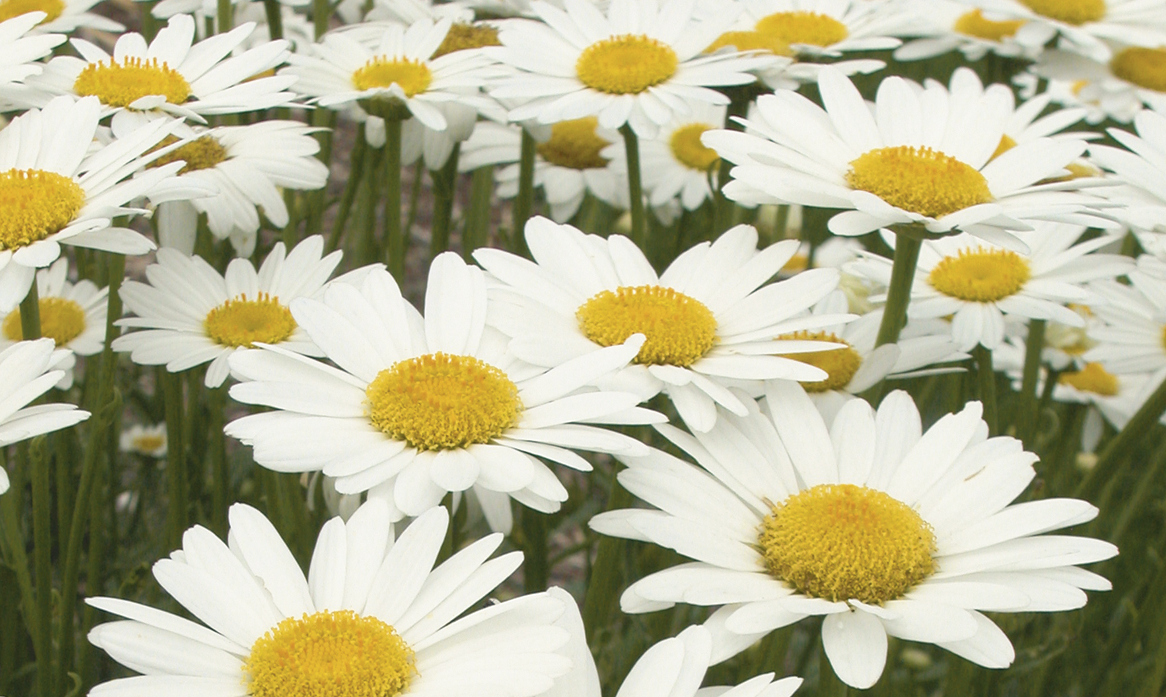 Consider these five great perennials seriously the buffalo news check out new cultivars the choices vary in different garden centers that have sturdy stems a more controlled habit and bigger flowers in shades of white izmirmasajfo
