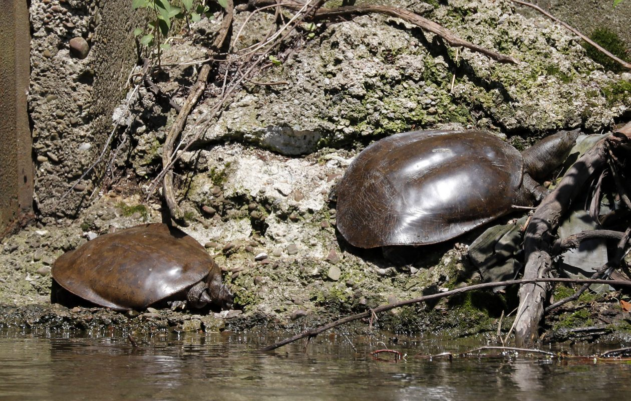 Spiny softshell turtles bask in the sun this spring along the Chadakoin River in Jamestown. (Mark Mulville/Buffalo News)