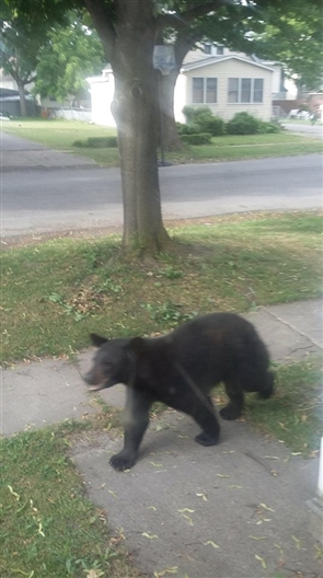 Alison Pendergast spotted this bear in her front yard at 8:08 a.m. June 22, 2018, on 14th Avenue in North Tonawanda, N.Y. Bear sightings have also been reported in Amherst Thursday. If you have any photos of local bear sightings, email footage to Qina Liu at qliu@buffnews.com.
