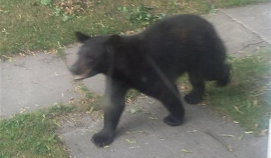 This bear was spotted at 8:08 a.m. June 22 in North Tonawanda. (Courtesy of Alison Pendergast)