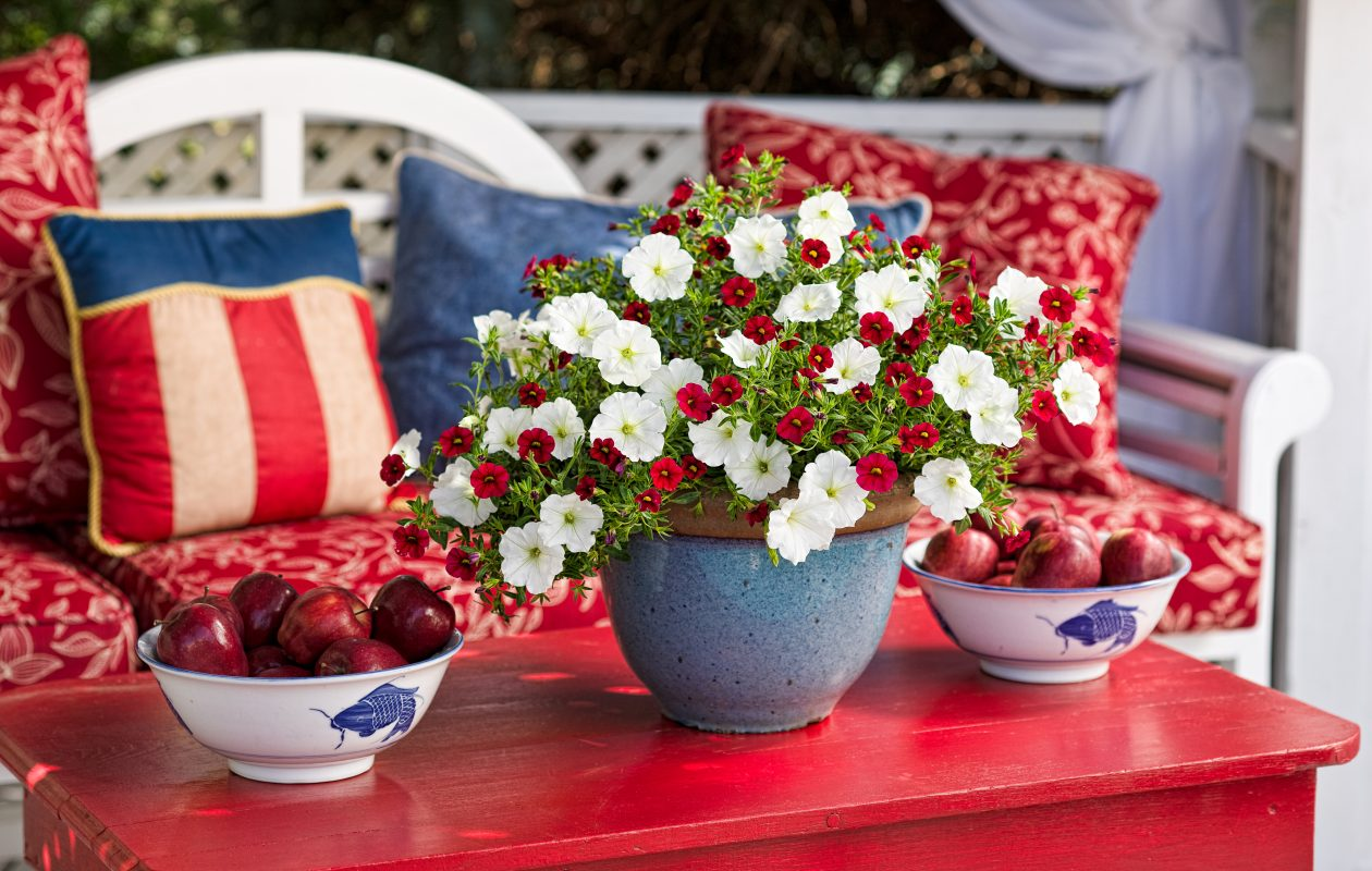 You can still dress up your garden in time for a July Fourth gathering with a red, white and blue color scheme including white Supertunia petunias and red Superbells calibrachoa in a blue pot. (Photo courtesy Proven Winners)