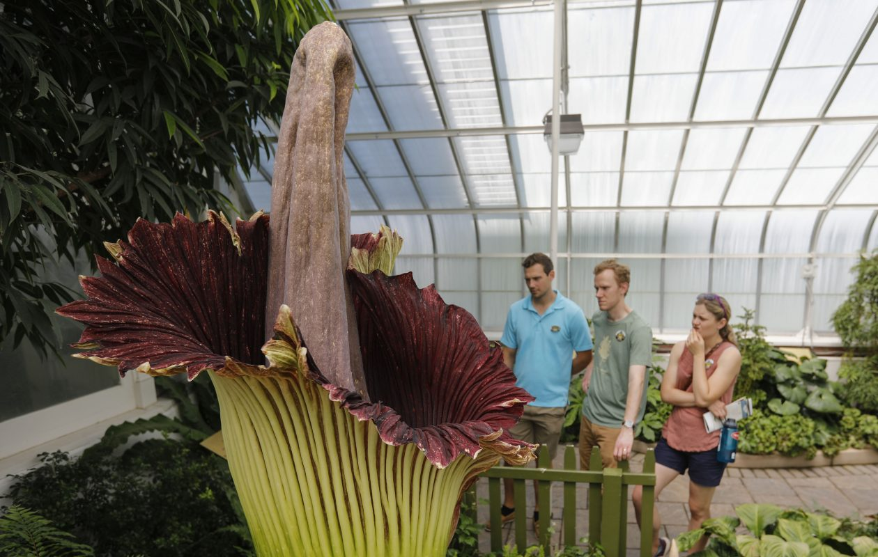 Fester, the second corpse flower to bloom this summer at the Buffalo & Erie County Botanical Gardens, is on display on Sunday, July 1, 2018. (Derek Gee/Buffalo News)