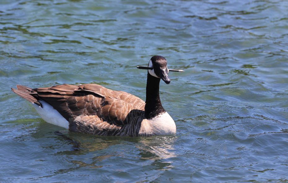 SPCA Animal Cruelty Investigators and Animal Rescue officers Tyler Robertson and Chelsa Wlodarczyk  at Broderick Park and the Black Rock Canal on Thursday attempting to catch  injured Canadian Geese.  (John Hickey/Buffalo News)