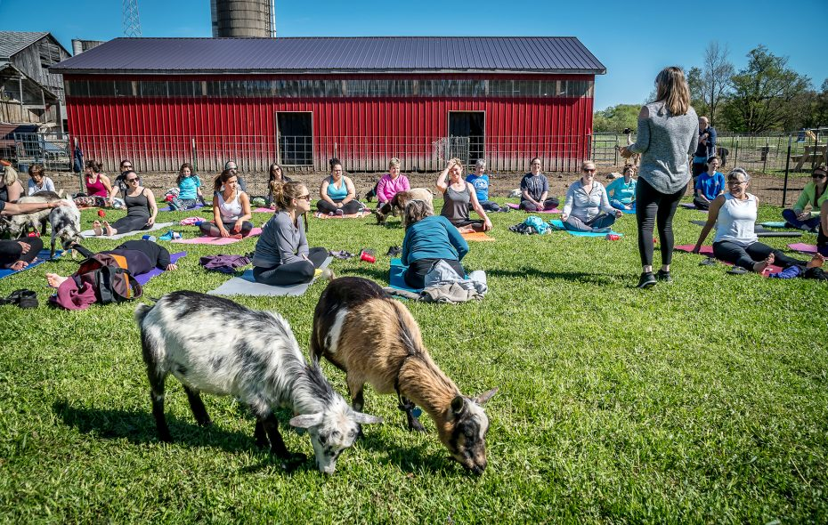 "Goat yoga took the country by storm after an Oregon farm started the trend in 2016. Will ""cow yoga,"" popular in the Netherlands, also take off? ("