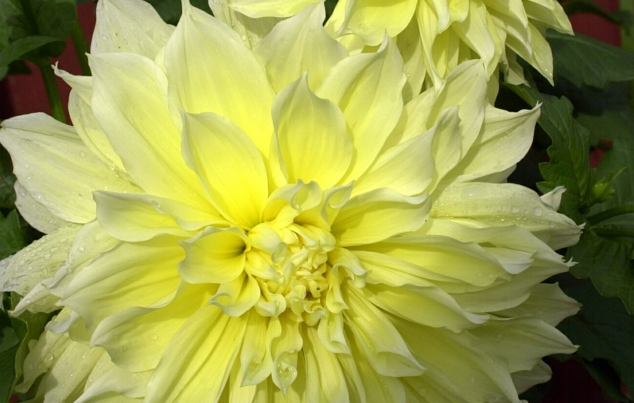 Dahlias are gorgeous features of many gardens. (James P. McCoy/News file photo)