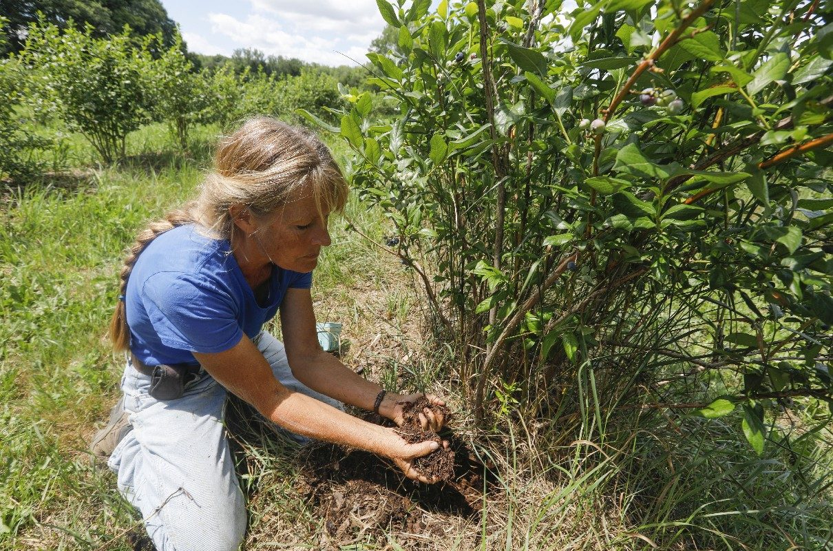 Gayle Thorpe checks the moisture of the soil at the roots of her blueberry plants at Thorpe's Organic Family Farm in East Aurora, Wednesday, July 18, 2018. A thick layer of mulch helps keep the soil moist, even during long stretches without rain. (Derek Gee/Buffalo News)