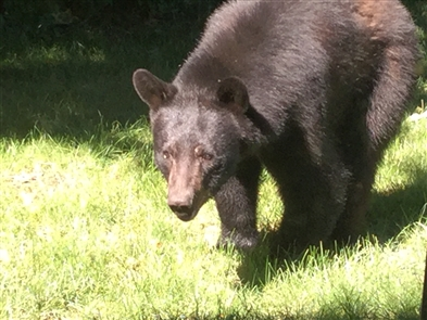 Photos: Bear spotted in Western New York