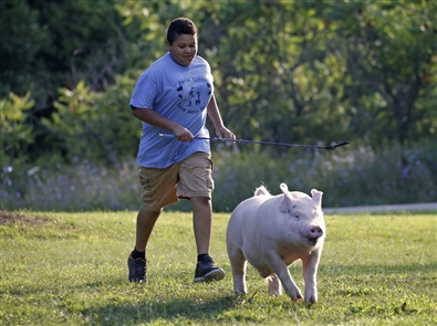 Trevor Beats, an 11-year-old from Marilla, spent the summer mastering the skills of nurturing a pig. The bond between Trevor and his pig, Gordy, began in April and ended at the Erie County Fair this month with a 259-pound animal, a champion blue ribbon and correspondence with the president of the United States.