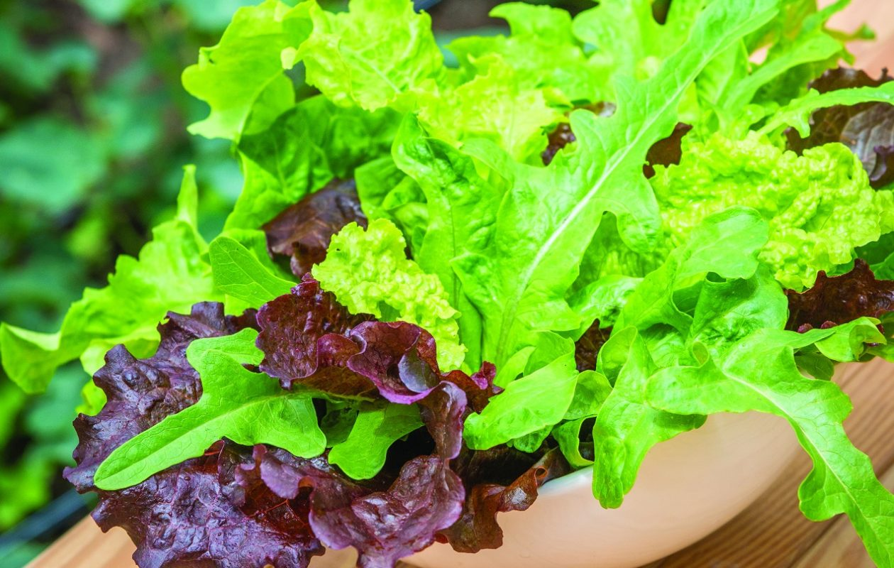 'Heatwave Blend' lettuce, above, is one option for the fall salad garden.  (Photo courtesy   W. Atlee Burpee Company)
