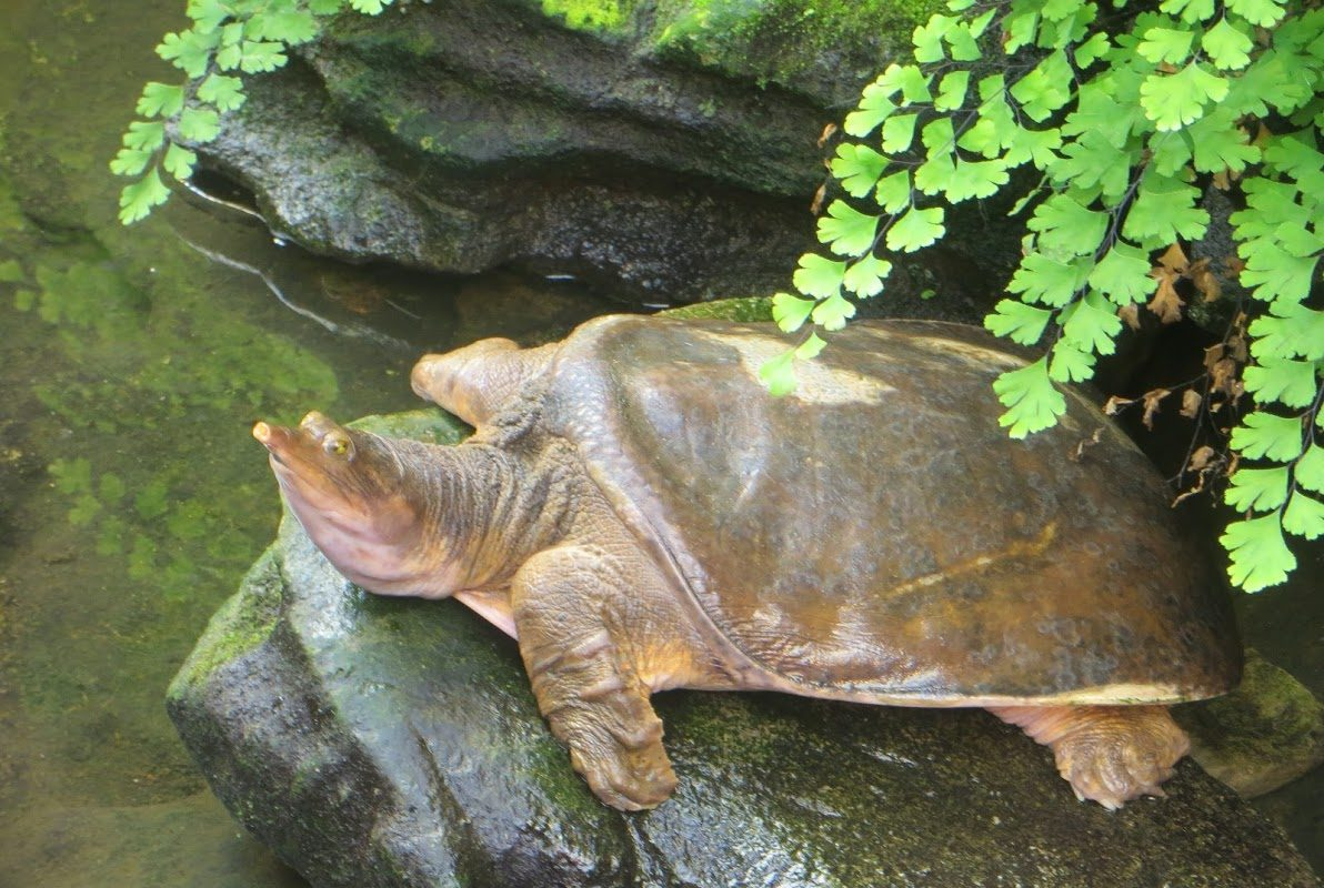 Violet the turtle suns herself at the Floral Showhouse in Niagara Falls, Ont., in the enclosure she now shares with fellow turtles and fish. (Photo courtesy Kenneth Watson)