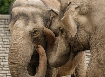 Jothi and Surapa, two Asian elephants who have lived at the Buffalo Zoo since 1987, will soon be relocated to a new elephant habitat at the Audubon Zoo in New Orleans.