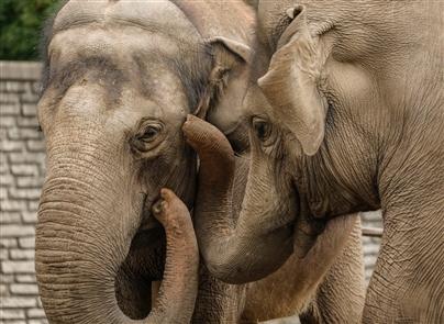 Asian Elephants at the Buffalo Zoo