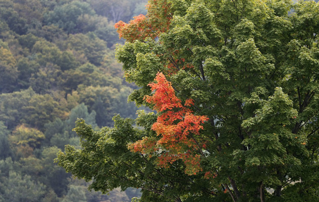 The leaves on trees at Pumpkinville in Great Valley begin to take on more vibrant colors as fall arrives. Experts say the summer's dry weather should delay the transformation, but also make the fall foliage brighter than normal. (Mark Mulville/Buffalo News)