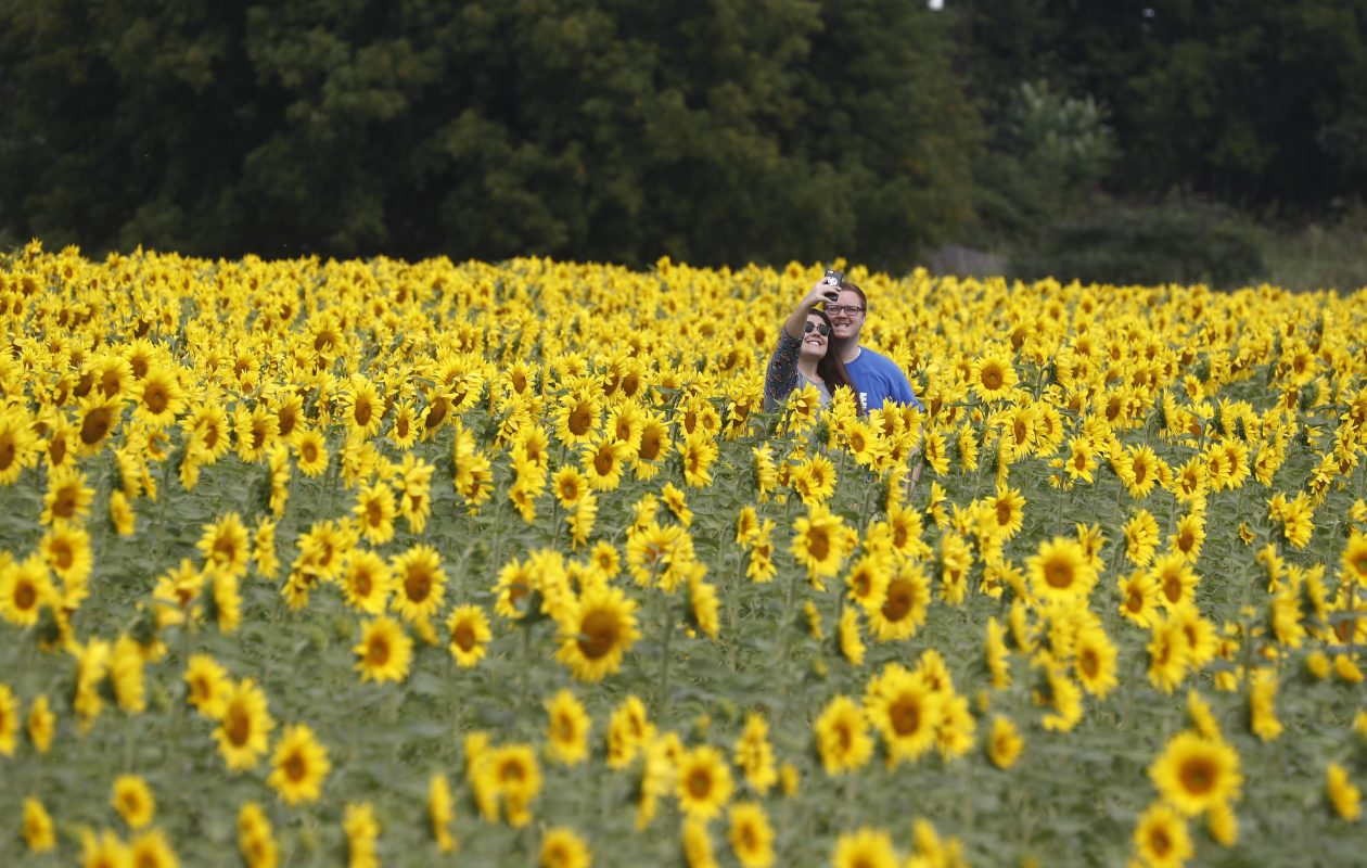 Gianna Aloisio and Collin Kowalski take a selfie in a field of sunflowers at Chad and Louise Danielewicz farm at Route 31 and Baer Road, Sanborn, N.Y.   (John Hickey/Buffalo News file photo)