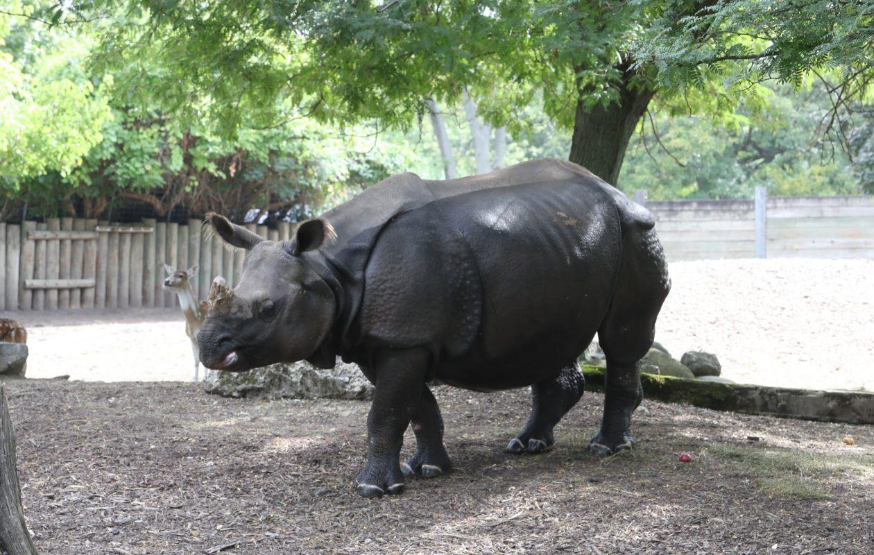 Tashi, the Buffalo Zoo's greater one-horned rhinoceros, is expected to give birth in summer 2019. (John Hickey/Buffalo News)