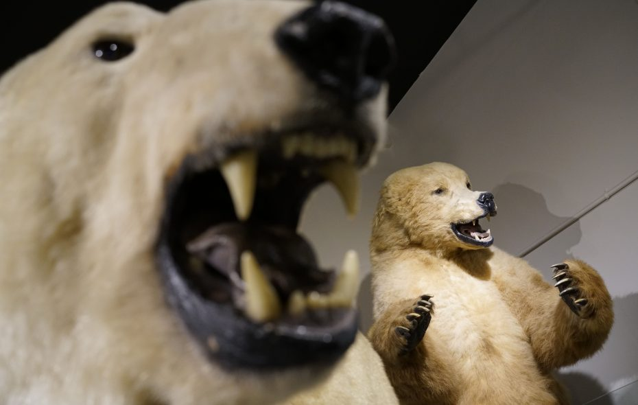 "The polar bears will look especially frightening at the Buffalo Museum of Science during its ""Spooky Overnight at the Museum"" event. (Derek Gee/Buffalo News)"