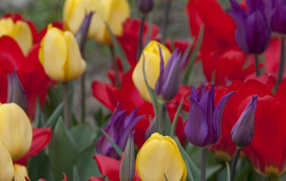 Colorblends' Trifecta Tulip Blend combines three beauties that bloom in sequence, delivering three waves of color in early, mid and late season. (Photo courtesy Colorblends.com.)