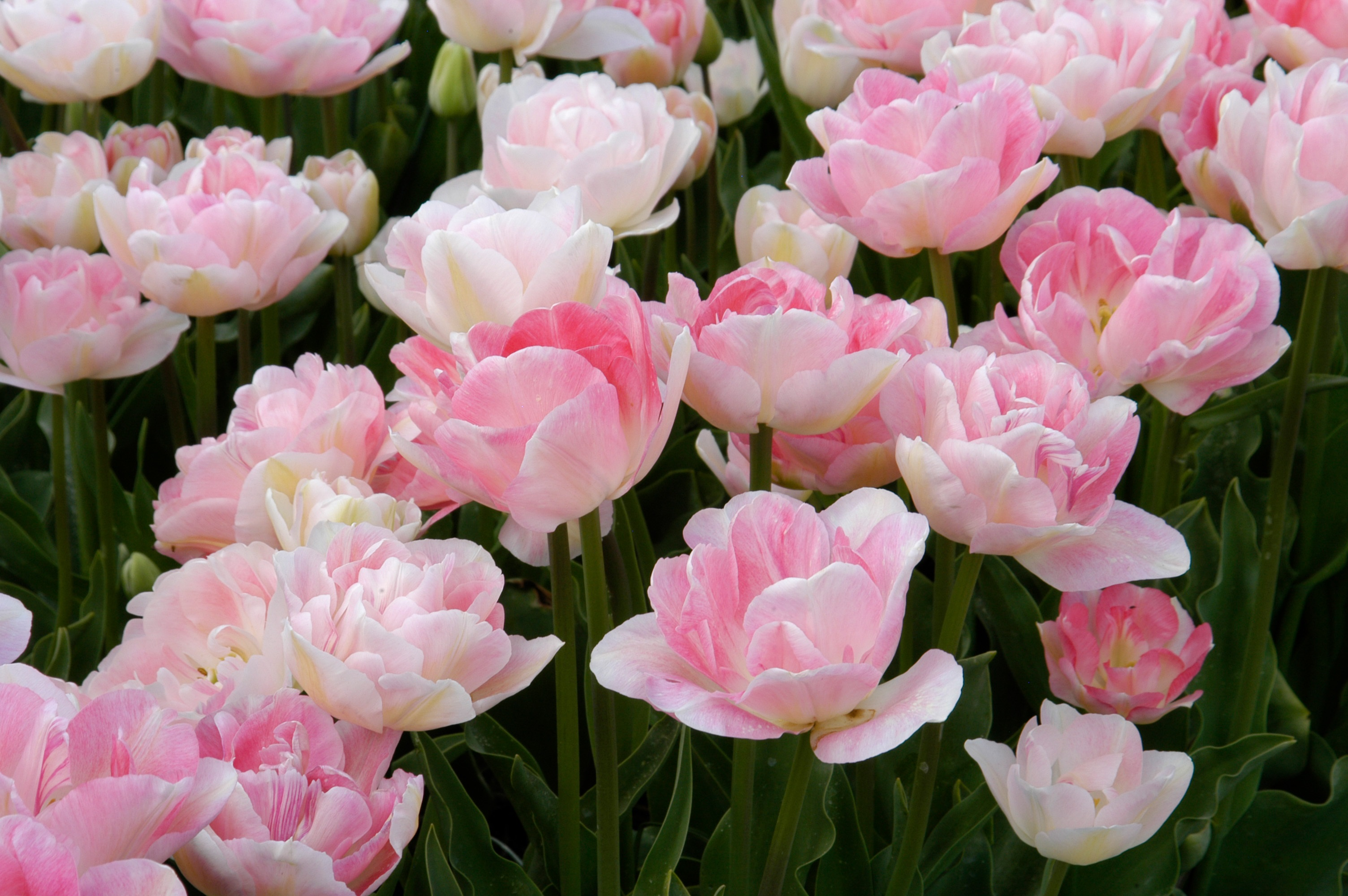 Sally Cunningham: Plant some bulbs  You'll be glad you did  – The