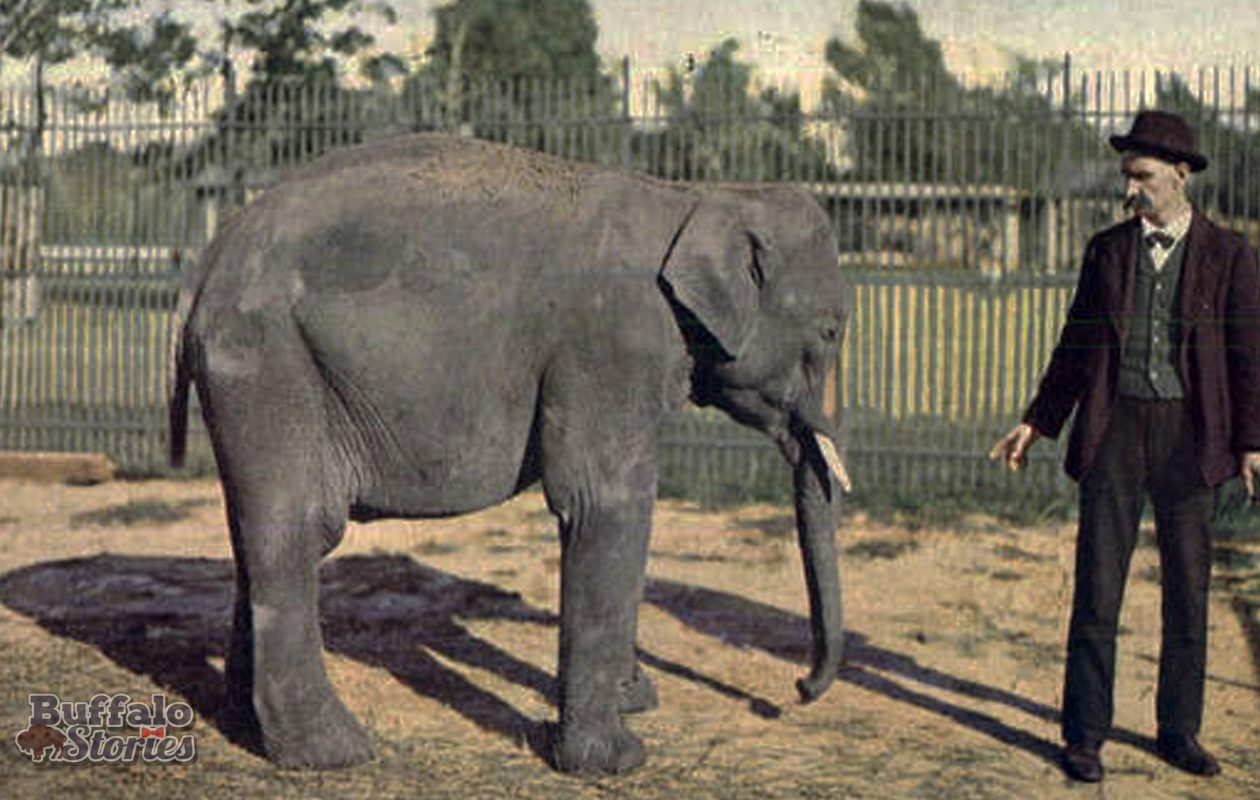 The elephant who'd come to be known as 'Big Frank' wasn't all that big when he came to The Buffalo Zoo as a 7-year-old in 1900.