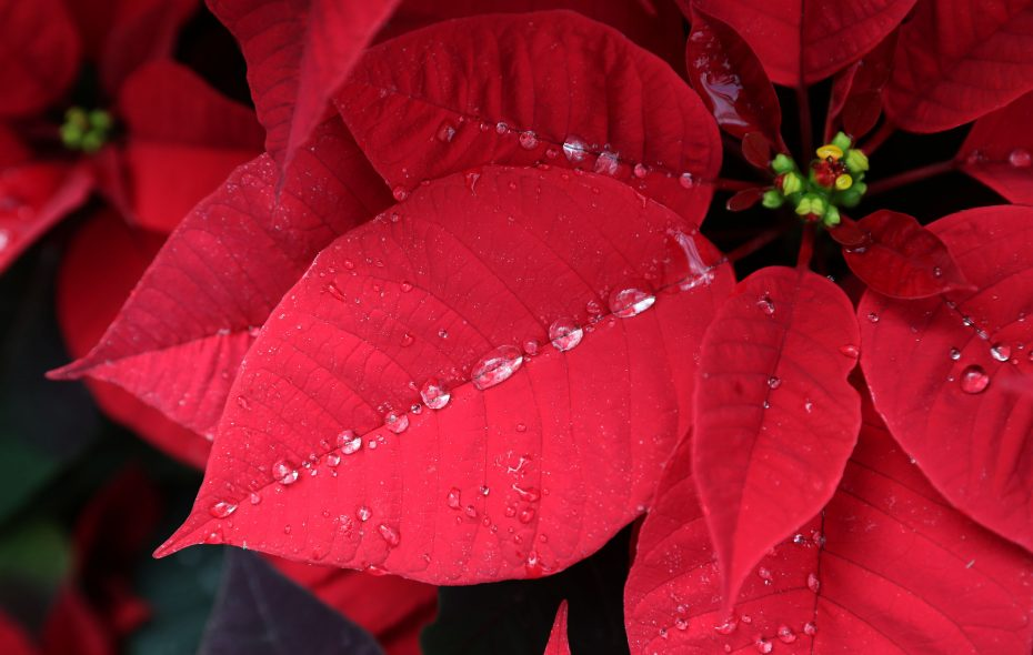 The poinsettia is a popular holiday plant, but how much do you really know about it? (Sharon Cantillon/News file photo)