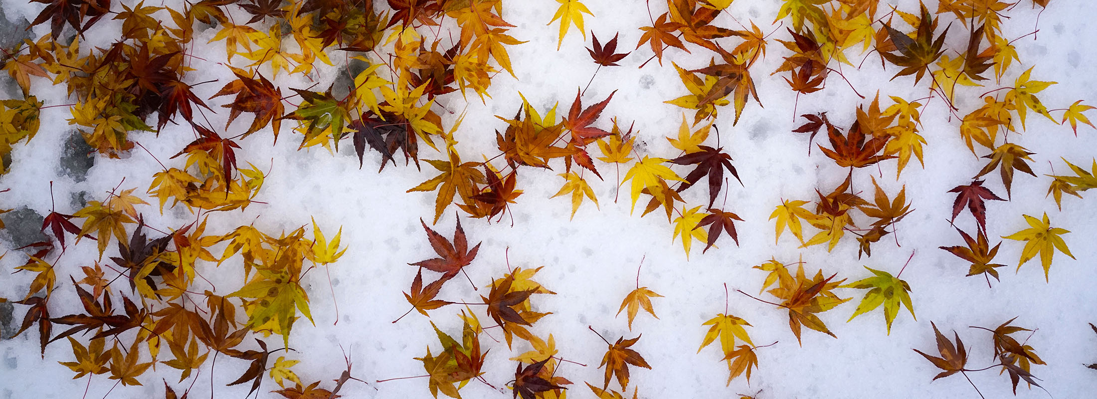 Colorful leaves lay on snow in the Japanese Garden on Nov. 16. (Derek Gee/News file photo)
