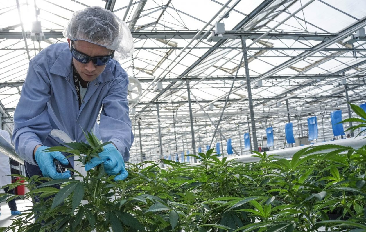 A worker trims back marijuana plants in a greenhouse at Tweed Farms in Niagara-on-the-Lake, Ont.. (Derek Gee/News file photo)