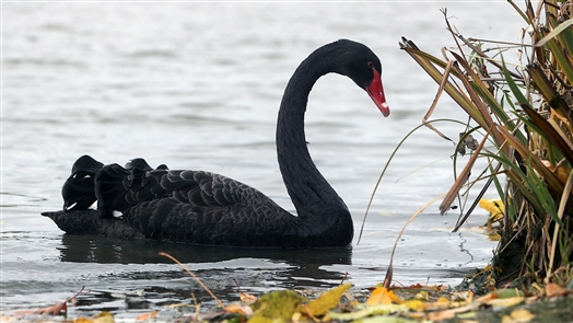 The black swan — rarely sighted in the wild in North America — is native to Australia. But this one was spotted in North Tonawanda (Swanawanda?) and caught by photographer Mark Mulville.