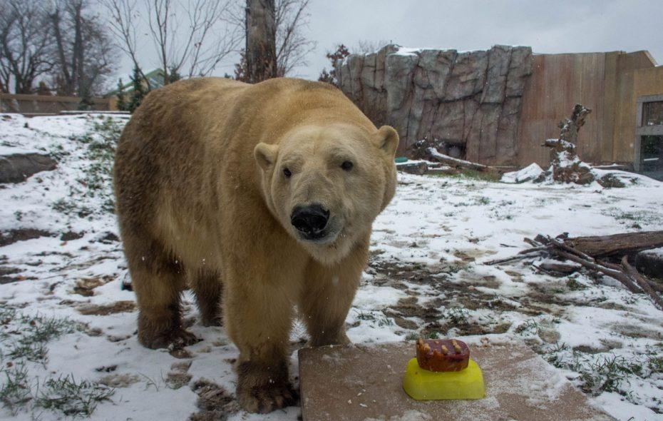 Mmmm. Blood, peanut butter and pumpkin. Sakari, the polar bear, got a special birthday cake Wednesday at the Buffalo Zoo. (Courtesy of The Buffalo Zoo)