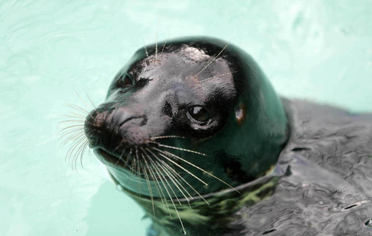 Lumiere, a rescued pacific harbor seal, is now at home at the Aquarium of Niagara in Niagara Falls.   (Mark Mulville/Buffalo News)
