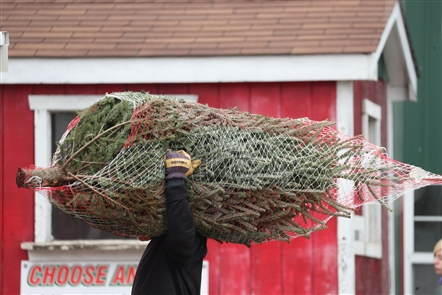 Bagging the perfect Christmas tree