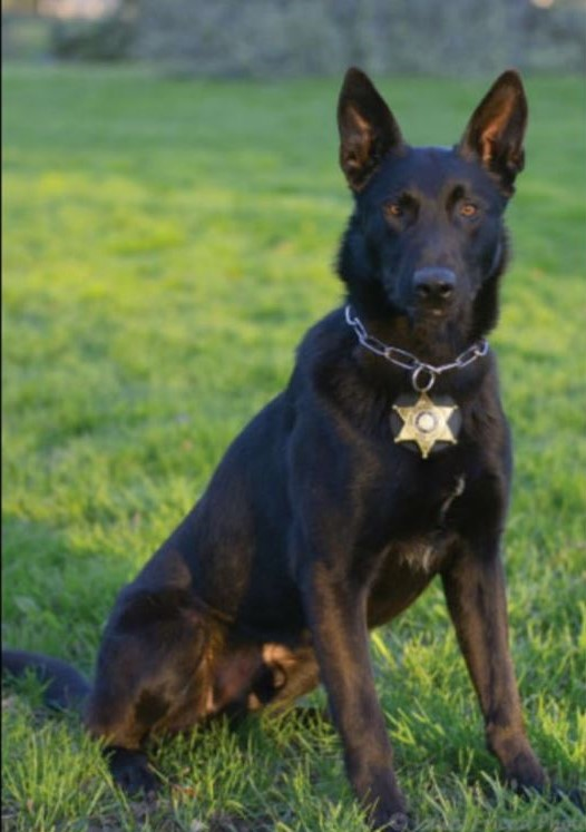 Chief, the police dog of the Niagara County Sheriff's Office. (Contributed photo)