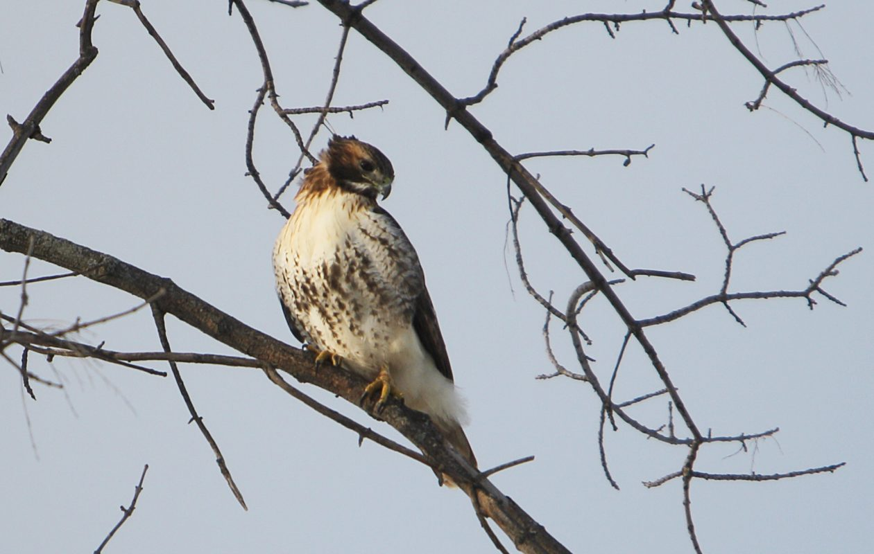 A hawk perched in a tree at Beaver Island Park on Grand Island. (Sharon Cantillon/News file photo)