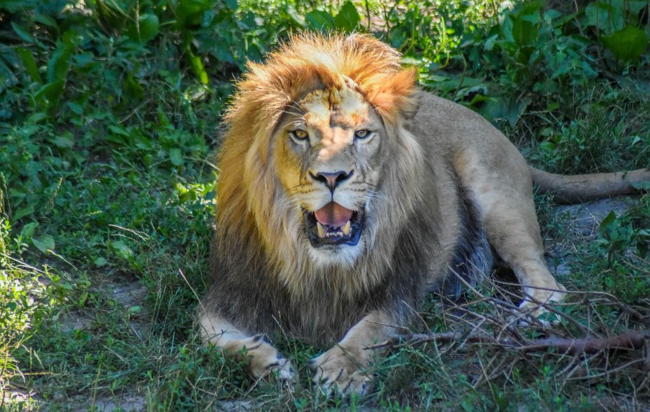 Tobias has been relocated to the Denver Zoo, where it is hoped he will mate with one of two female lions. (Photo courtesy of the Buffalo Zoo)