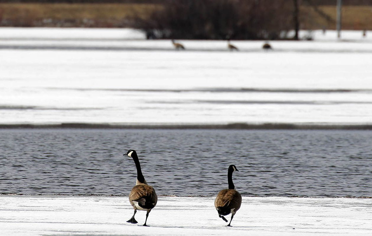Canada geese walk on the ice at the Iroquois National Wildlife Refuge in Basom earlier this month. (Mark Mulville/News file photo)