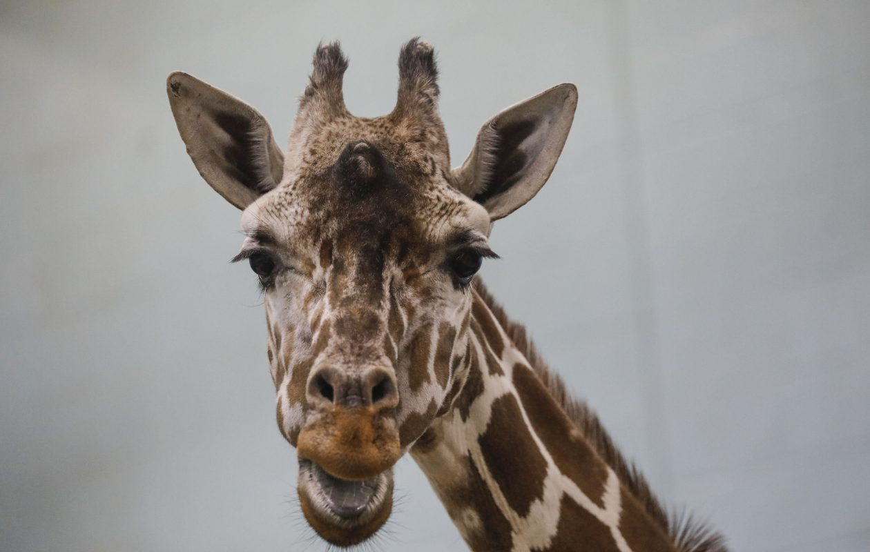 Sean Kirst: RIP, Agnes. How zoo's long-lived giraffe got her name